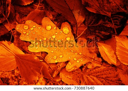 Fallen oak leaves with dew. Autumn oak leaves.water drops on fall oak leaves closeup. Dry Autumn Oak Leaf Covered by Water Drops of Rain on Ground. Close-up Photo.