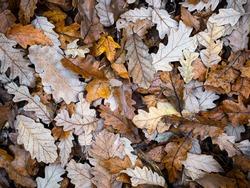 Fallen oak tree leaves in autumn