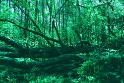 Fallen old big tree in dense forest. Mystical forest background. Mystery woodland atmosphere. Deep in the forest