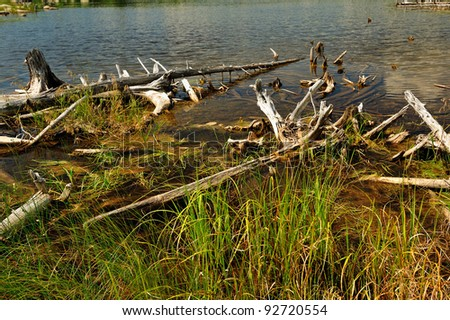 Fallen, rotting tree stumps laying on the shore of a small northern maine bog or pond