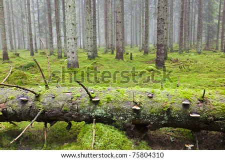 Fallen Spruce tree in the forest with morning mist