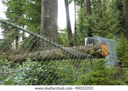 Fallen Tree. A tree blown over by wind had fallen crushing a fence.
