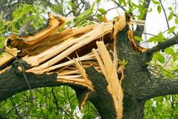 Fallen tree, broken and dangerous, danger
