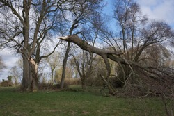 Fallen tree: catastrophic damage sustained by a tree following a storm in northern France