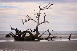 Fallen tree driftwood on a beach in South Carolina