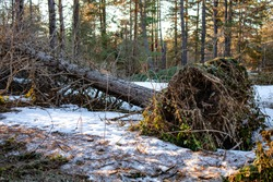 Fallen tree due to the stormy weather. Climate change