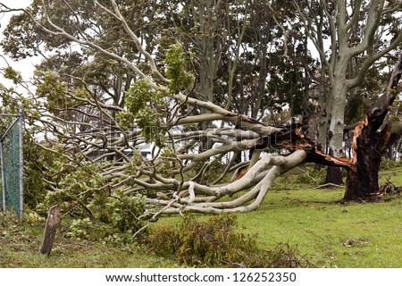 Fallen tree during cyclonic wind in South-East Queensland, on January 26-28, 2013