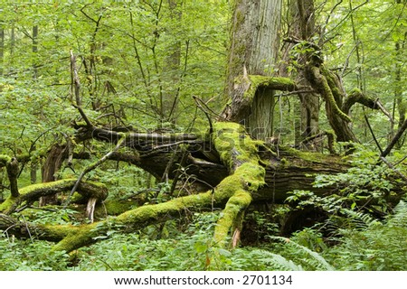 Fallen tree laying on forest bottom,middle europe,poland,bialowieza forest