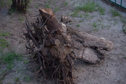 Fallen tree. Torn tree root. a torn tree with roots from under the ground lies on the ground in leaves. trees are getting brutally killed and torned apart trashing the roots, branches and stems