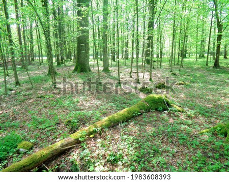 Fallen tree trunk in Bialowieza Forest (Puszcza Bialowieska). It is one of the last and largest remaining parts of the immense primeval forest that once stretched across the European Plain