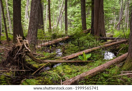 Fallen trees in a backwoods forest. Forest backwoods. Deep forest backwoods. Backwoods forest trees Foto stock ©