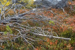 Fallen withered pine tree on reddening autumn thickets of blueberries and lingonberries. dead trees in nature reserve on mountain Vottovaara, Karelia, Russia.