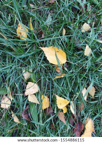 fallen yellow leaf on wet asphalt. wet leaf on grass #1554886115