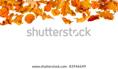 Falling autumn leaves on the white  background.