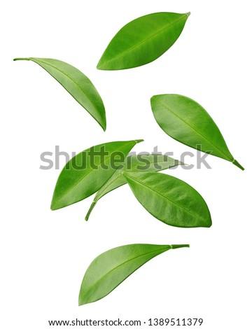 Falling Citrus leaf, lemon, grapefruit, orange, lime, kumquat, isolated on white background, clipping path, full depth of field