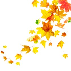Falling colorful autumn maple leaves isolated on white