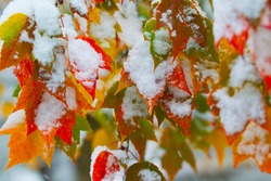 Falling snow and autumn leaves in autumn
