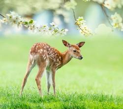 fallow deer- baby animal in spring nature