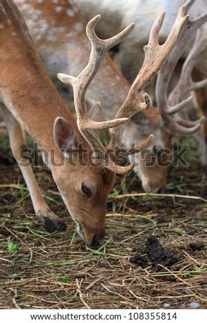 Fallow Deer Buck [Dama dama] eating grass.