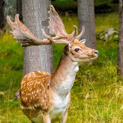 Fallow Deer buck (Dama dama) with growing antlers in beautiful pose on the edge of the forest in the natural habitat of mixed woodland and open grassland. Leningrad Oblast, Russia.