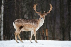 Fallow Deer Buck. Majestic powerful adult Fallow Deer, Dama dama, in winter forest, Belarus. Wildlife scene from nature, Europe.A male of fallow deer ( Daniel ) with grate antlers standing on the snow