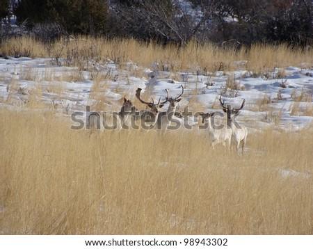 Fallow Deer Bucks in the Snow - stock photo