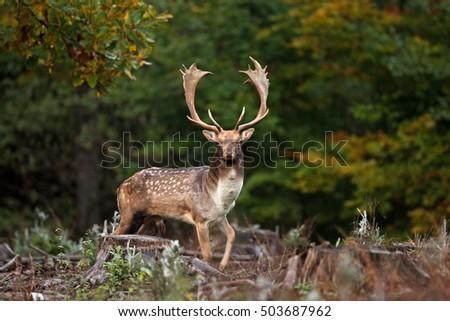 fallow deer, dama dama, czech republic,