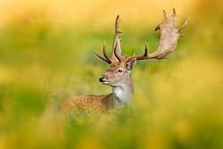 Fallow Deer, Dama dama, in autumn forest, Dyrehave, Denmark. Animal on the forest meadow. Wildlife scene in Europe. Majestic powerful adult  in forest vegetation.