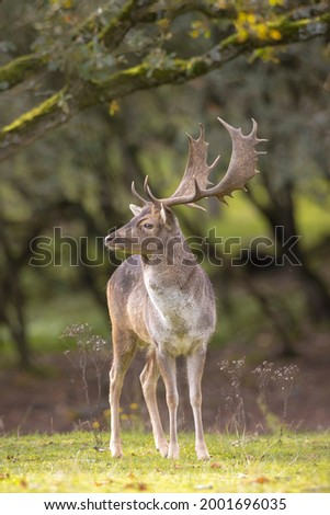 Fallow deer Dama Dama male stag during rutting season. The Autumn sunlight and nature colors are clearly visible on the background. Foto stock ©