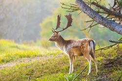 Fallow deer Dama Dama stag walking in a forest. The nature colors are clearly visible on the background, selective focus is used.