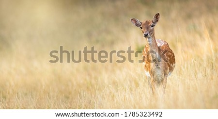 Fallow deer, dama dama, standing on meadow in autumn nature. Spotted hing looking to the camera with copy space. Wild animal female staring on dry grassland from front. Foto stock ©