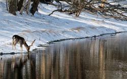 fallow deer drinking from canal in snowy landscape