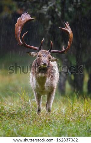 Fallow deer during the rutting season