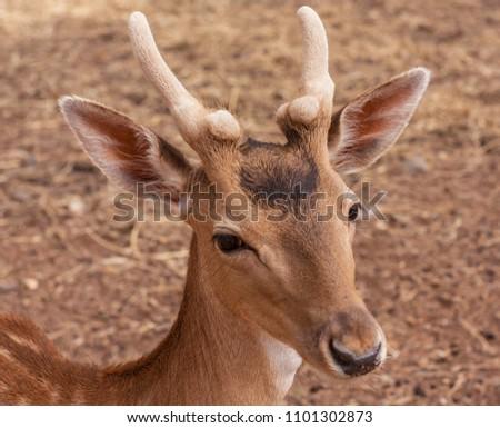 Fallow deer face #1101302873