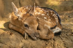 Fallow deer fawn curled up from close up view