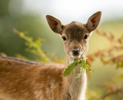 Fallow deer fawn eating a leaf