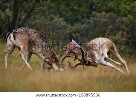Fallow deer fight during the rutting season