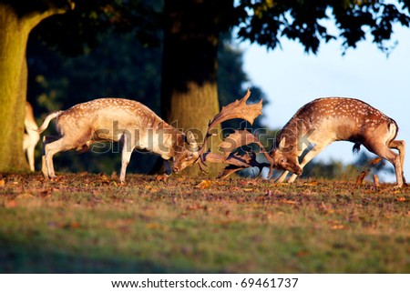 Fallow Deer fighting