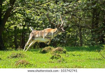 Fallow deer in a natural habitat.