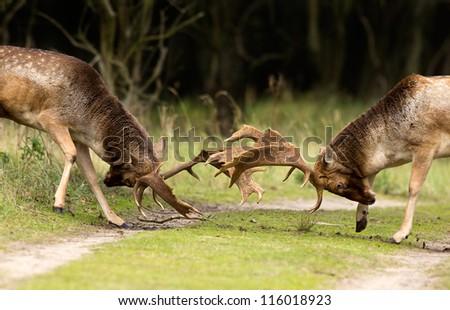 Fallow deer in combat