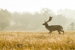Fallow deer in landscape with morning dew.