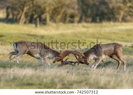 Fallow deer in mating season in autumn time #742507312