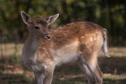 fallow deer in the museum of prehistory