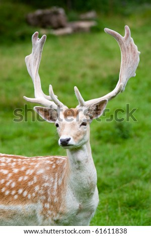 Fallow deer in the wilderness, Black Forest, Germany