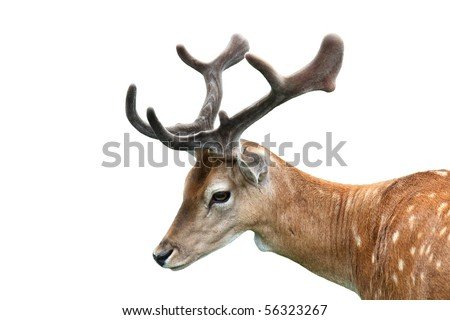 Fallow deer isolated on white background.
