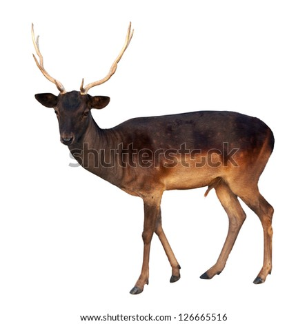 fallow deer. Isolated over white