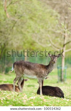 Fallow Deer (lat. Dama dama) on a green meadow in spring