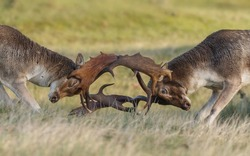 Fallow deer mating season, deer rest and fight in this period.