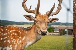 fallow deer on the meadow