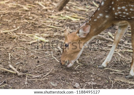 Fallow deer stands and eats corn . Picture of a beautiful Fallow Deer (Dama dama) in a colorful forest.